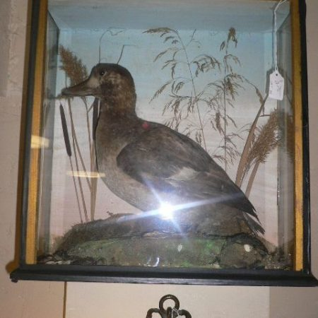 Late Victorian Taxidermy of a Duck