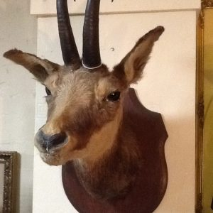 Taxidermy Chamois